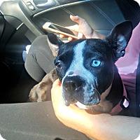Adopt A Pet :: Nala - Adoption Pending - Greensboro, NC
