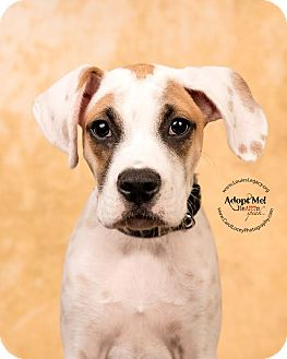 Boxer Mix Puppy for adoption in Cincinnati, Ohio - Leo- WAIVED FEE