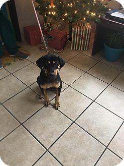 Rottweiler/Doberman Pinscher Mix Puppy for adoption in Fort Worth, Texas - Bella