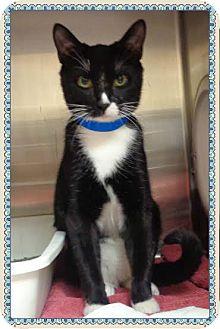 Domestic Shorthair Cat for adoption in Marietta, Georgia - DASH