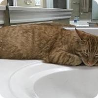 Domestic Shorthair Cat for adoption in San Antonio, Texas - Dotty