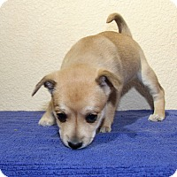 Adopt A Pet :: Posey - Alamogordo, NM