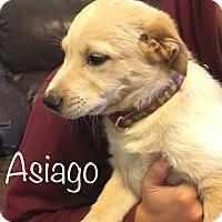 Adopt A Pet :: Asiago - Regina, SK
