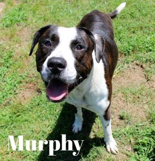 American Pit Bull Terrier Mix Dog for adoption in Melbourne, Kentucky - Murphy