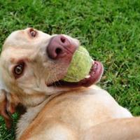 Adopt A Pet :: Rockstar - New Orleans, LA