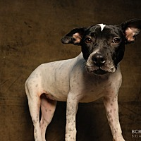 American Staffordshire Terrier/Pointer Mix Puppy for adoption in Cliffside Park, New Jersey - MARGO