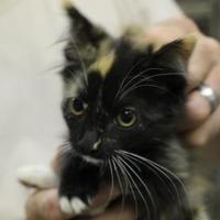 Domestic Mediumhair/Domestic Shorthair Mix Cat for adoption in Cleveland, Alabama - 36116549