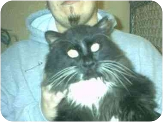 Domestic Longhair Cat for adoption in Aledo, Illinois - Chief