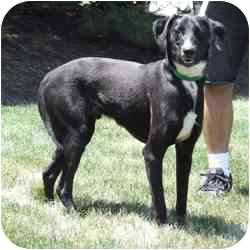 Labrador Retriever/Whippet Mix Dog for adoption in Batavia, Ohio - Parker