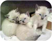 Siamese Cat for adoption in Darien, Connecticut - Meezers -3