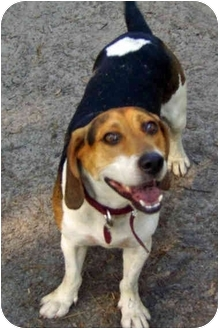 Beagle Mix Dog for adoption in Tallahassee, Florida - Sport
