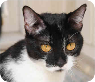 Domestic Shorthair Cat for adoption in Chicago, Illinois - Dot