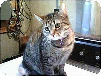 Domestic Shorthair Cat for adoption in Trexlertown, Pennsylvania - Misty