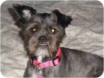 Shih Tzu/Yorkie, Yorkshire Terrier Mix Dog for adoption in Marietta, Georgia - Bella