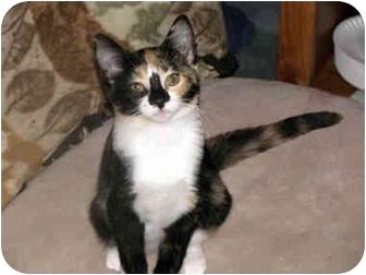 Domestic Mediumhair Cat for adoption in Xenia, Ohio - Hope