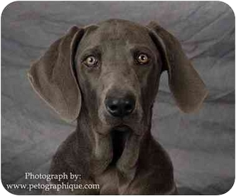 Weimaraner Puppy for adoption in Las Vegas, Nevada - DESERT