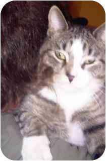Domestic Shorthair Cat for adoption in Medford, Massachusetts - Curtis