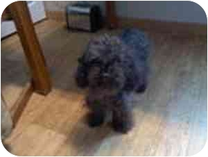 Poodle (Miniature) Dog for adoption in Conesus, New York - Sammy