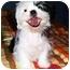 Photo 3 - Shih Tzu Mix Puppy for adoption in Latrobe, Pennsylvania - Romeo