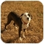 Photo 1 - American Bulldog Mix Dog for adoption in White Plains, New York - Arwin
