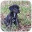 Photo 1 - Labrador Retriever/Dachshund Mix Puppy for adoption in New Milford, Connecticut - Winnie