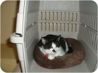 Domestic Mediumhair Cat for adoption in Houston, Texas - Pam