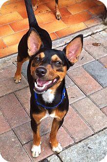 Miniature Pinscher/Terrier (Unknown Type, Small) Mix Dog for adoption in Davie, Florida - Skippy