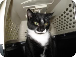 Domestic Shorthair Cat for adoption in Chambersburg, Pennsylvania - Walter