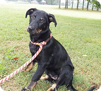 Shepherd (Unknown Type)/Labrador Retriever Mix Puppy for adoption in Adamsville, Tennessee - Priscilla