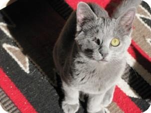 Domestic Shorthair Kitten for adoption in Diamond Bar, California - WINK