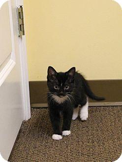 Domestic Shorthair Kitten for adoption in St. Louis, Missouri - Phil O'Dendron