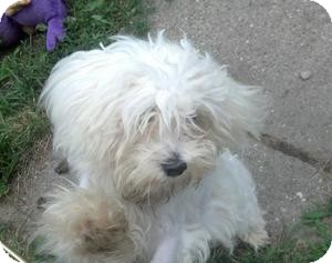 Maltese Puppy for adoption in Worcester, Massachusetts - Max
