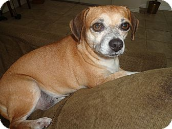 Chihuahua/Beagle Mix Dog for adoption in Brooksville, Florida - Tinker Belle