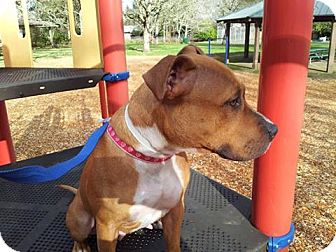 American Staffordshire Terrier Dog for adoption in Salem, Oregon - Chili Pepper