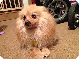 Pomeranian Mix Dog for adoption in Hockessin, Delaware - Ricky