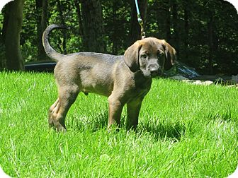 Labrador Retriever/Hound (Unknown Type) Mix Puppy for adoption in West Milford, New Jersey - PAX (litter of 4)