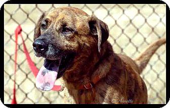Shepherd (Unknown Type) Mix Dog for adoption in Graniteville, South Carolina - Terrance