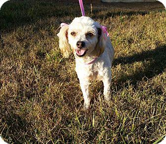 Poodle (Miniature) Mix Dog for adoption in Santa Ana, California - Fifi