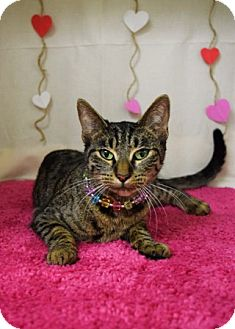 Domestic Shorthair Cat for adoption in Dublin, California - Pebbles