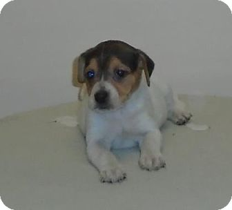 Beagle Mix Puppy for adoption in Gary, Indiana - Lydia