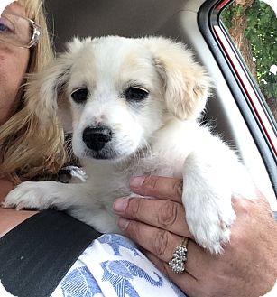 Poodle (Miniature)/Spaniel (Unknown Type) Mix Puppy for adoption in Thousand Oaks, California - Jamie