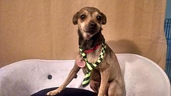 Chihuahua Dog for adoption in Fort Worth, Texas - Scrappy