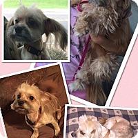 Adopt A Pet :: Lil shadow - Scottsdale, AZ