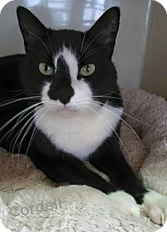 Domestic Shorthair Cat for adoption in Homewood, Alabama - Cordell
