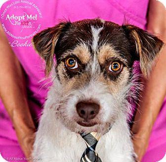 Terrier (Unknown Type, Medium) Mix Dog for adoption in Cedar Creek, Texas - Bookie