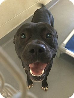 Pit Bull Terrier Mix Dog for adoption in Bloomfield, Connecticut - Seaside Park