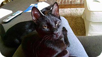 Domestic Shorthair Kitten for adoption in Keller, Texas - Vanna