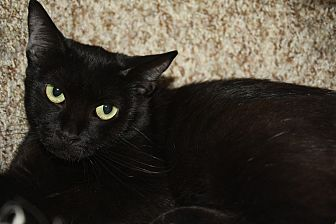 Domestic Shorthair Cat for adoption in North Hollywood, California - Vera