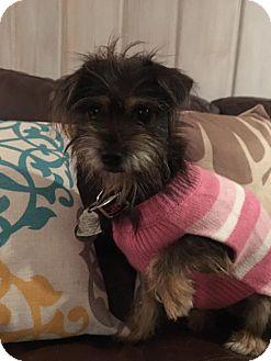 Yorkie, Yorkshire Terrier/Schnauzer (Miniature) Mix Dog for adoption in Fort Atkinson, Wisconsin - Joyce Ann