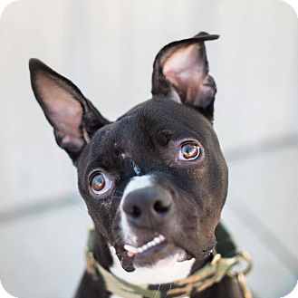 Boxer/American Staffordshire Terrier Mix Dog for adoption in santa monica, California - Marley